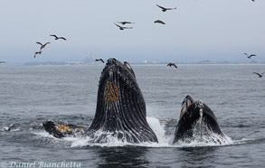 Lunge-feeding Humpback Whales, photo by Daniel Bianchetta